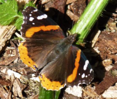 Alderman (Red Admirable) Dorsal (May 28)