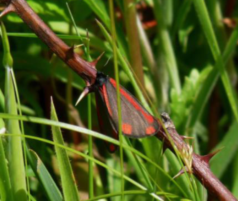 Cinnabar Moth Dorsal (May 25)