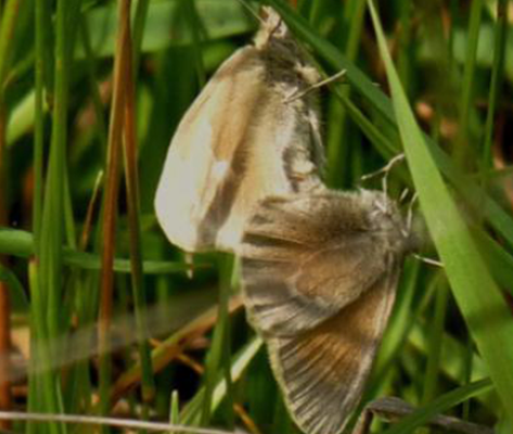 Ochre Ringlet Mating Dorsal (Jun 1)