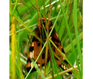 Ranchmans Tiger Moth Ventral (Jun 19)