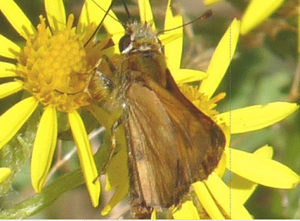 Woodland Skipper Ventral (Jul 17)