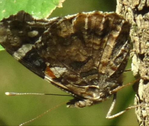 Alderman (Red Admirable) Ventral (May 28)