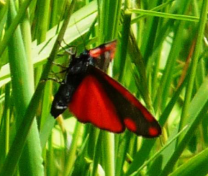 Cinnabar Moth Ventral (May 25)