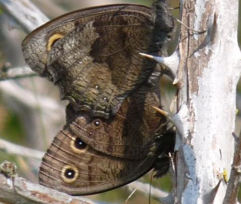 Common Wood Nymph (Jul 20)