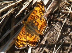 Mylitta Crescent Dorsal Male (May 22)