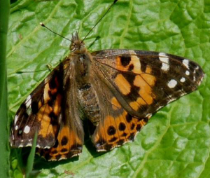 Painted Lady Dorsal (May 30)