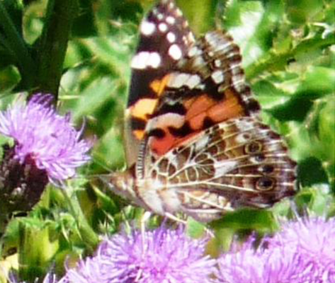Painted Lady Ventral (May 30)