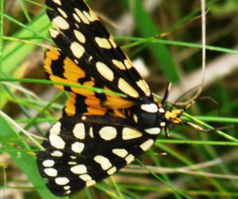 Ranchmans Tiger Moth Dorsal (Jun 19)