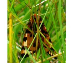 Ranchmans Tiger Moth Ventral (Jun 19)