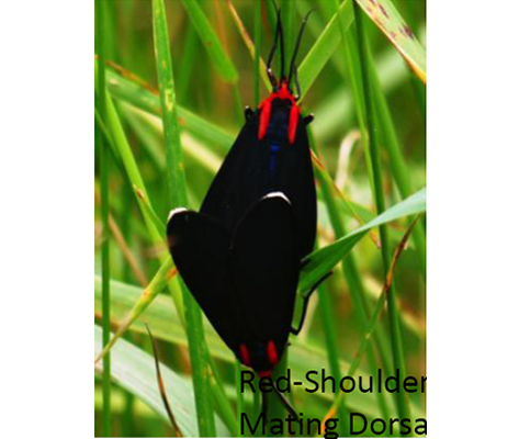 Red-Shouldered Ctenucha Moth Mating Dorsal (Jul 3)