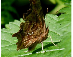 Satyr Anglewing Ventral (June 2)