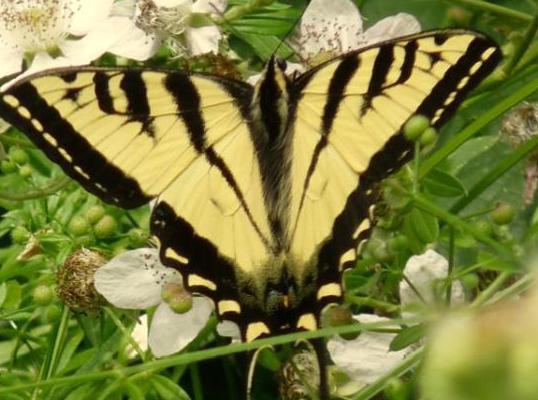 Western Tiger Swallowtail Dorsal (June 11)