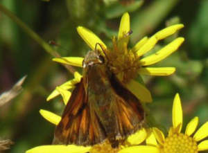 Woodland Skipper Dorsal (Jul 17)